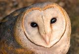 Mussol - Owl