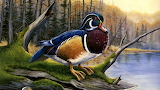 Colorful Wood Duck