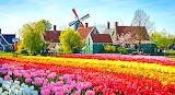Tulips rainbow colorful in Zaanse Schans windmill village