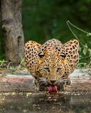 Lleopart - Leopard
