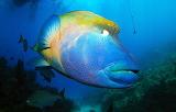 Napoleon Fish (Humphead Wrasse)
