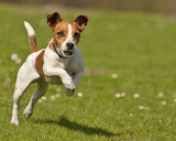 Dog Breed - Jack Russell Terrier