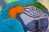Parrot close up Macaw