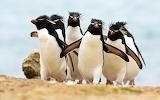 northern rockhopper penguins