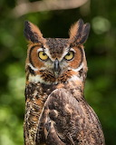 "Birds tumblr tangledwing ""Great Horned Owl"" ""Bubo virginianus"""