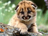 Mountain Lion Cub...
