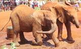 Elephant Orphans ~ Mud Wallow Fun