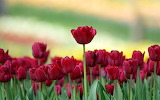 ^ Red tulips Spring