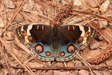 "Insects tumblr dogstardreams ""Blue Pansy"" ""Junonia orithya"" Nymp"
