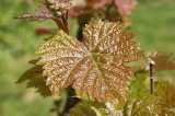 Vines leaves /Feuilles de vignes
