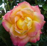 Pink and yellow rose by shippertrish-d6yl7fq