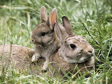 Wild rabbit and youngster