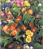 Flowers - Primrose garden