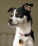 Lucy, a Rat Terrier