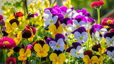 Виолы разноцветные