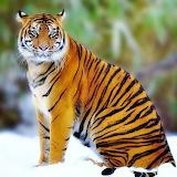 Beautiful Tiger...