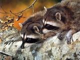 Two Cute Raccoons...