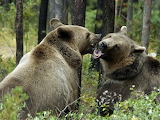 forest bears