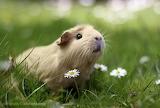 Cream Guinea Pig