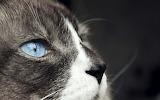 Cat-blue-eyes-looking