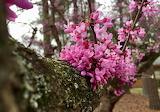 "POTW Plants Flowers""Eastern Redbud"""
