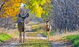 Autumn Deer Two 570482 1280x764