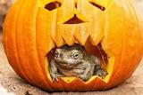 frog in pumpkin