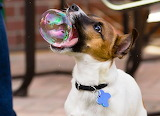 Dog catches bubble