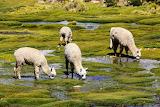 Andean alpacas
