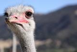 Ostrich in Buellton, CA