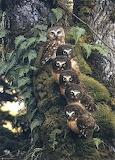 Mussols - Owls