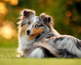 Dog Breed - Miniature Collie
