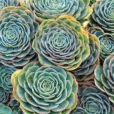 Flowers - Blue Rose Echeveria