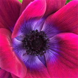 Anemone 'Mistral Magenta' close up