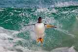 Penguin jumps into the water