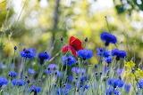 Cornflowers field, poppy, nature