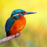* Kingfisher...