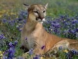 Cougar in flowers