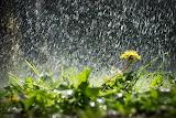 Одуванчик под дождем