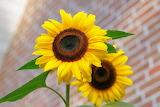 Yellow-sunflower-macro-photographyt-46216