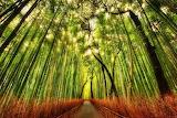 #Bamboo Forest Sagano Japan
