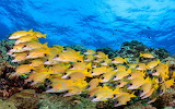 Group of small yellow fishes