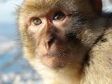 macaque,Gibraltar