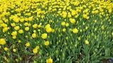 YellowTulips