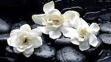 Trzy kwiaty gardenii na kamieniach