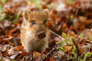 Wild Boar Piglet and Autumn Leaves