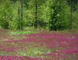 Mile 1623 A Field Of Clover