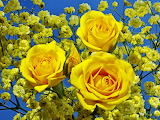 ^ Three gorgeous yellow roses