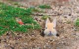 Baby feral domestic rabbit. Okunoshima Island-aka Rabbit Island.