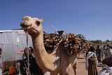 camel with brushwood
